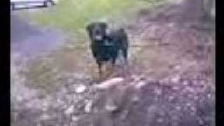Dog Doin Search And Bark Test   Dog Training Manchester   Danesdale Dog Training