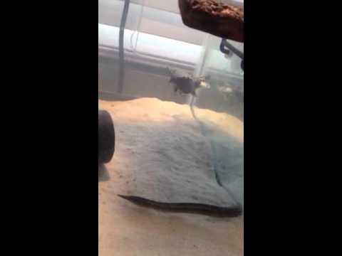 Feeding time!!! Puffers & turtles