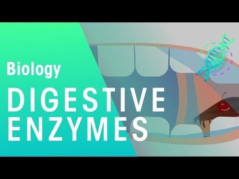 Digestive enzymes | Physiology | Biology | FuseSchool