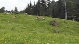 Cow Bells in the German Alps