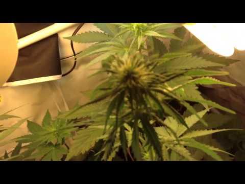 Marijuana Grow CFL Energy Saver in tight space Cannabis