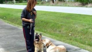German Shepherd Labrador Retriever Tandem Obedience Dogtra