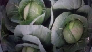 КАПУСТА.  Тонкости выращивания капусты в открытом грунте .