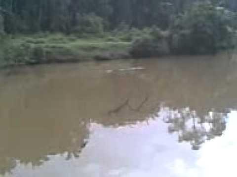 Kanicen.com - Buaya Sg Timun - YouTube