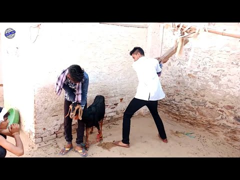 Doctor और बकरी को इलाज़   मारवाड़ी कॉमेडी Rajasthani Comedy   Kuchmadi Chhora Comedy