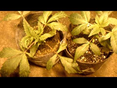 Organic Grower Vs Chem Grower: Round 7 Baby Bashing