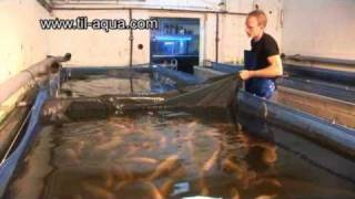 Til-Aqua Natural Male Tilapia Hatchery
