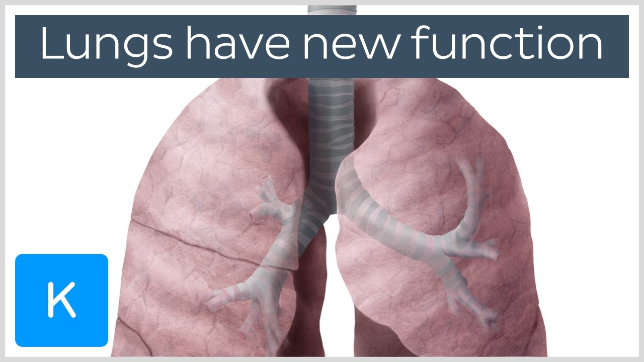 Lungs Have A New Function Human Anatomy Kenhub Youtube