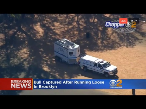Breaking News Live - Bull on the Loose in Prospect  Park Brooklyn