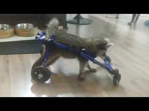 The Wake Up Show - WATCH: Baby Raccoon Gets Wheelchair After Brain Injury!