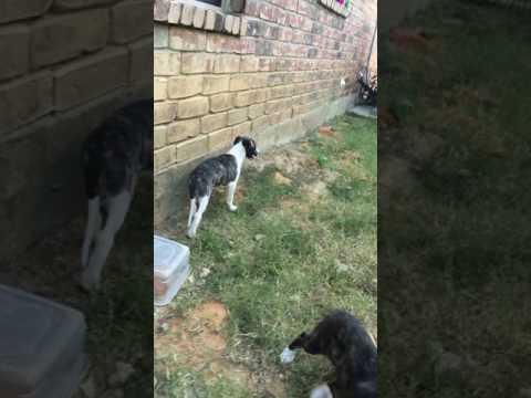 PuppyFinder.com : Boy #1 Odie