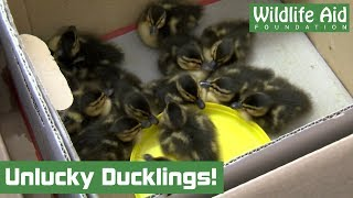 13 Unlucky for Some! - Rescuing tiny ducklings