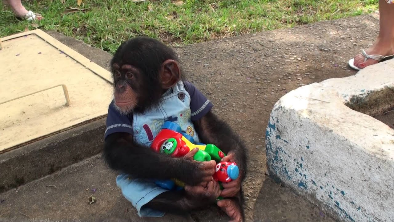 Baby Chimp Doesnt Want To Share His Toy Youtube