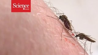 Promising malaria vaccine disables key parasite genes