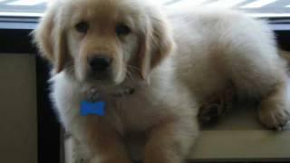 Golden Retriever Puppy For Sale In Florida