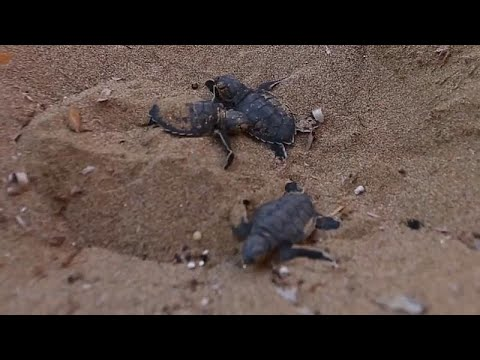 يورو نيوز:جهود حماية السلاحف الخضراء في قبرص تكلل بالنجاح
