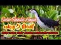 Suara Pikat Burung Wak Wak Betina Paling Ampuh Yang Bandel Pasti Keluar  Mp3 - Mp4 Download