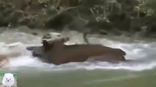 【boar vs dog】イノシシ、野犬狩りピット・ブルVSイノシシ。