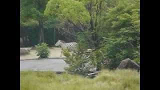 広島市安佐動物公園から。安佐名物(?)でっかいサバンナエリアで追い...