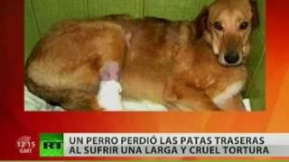 En Rusia un perro pierde las patas traseras tras ser torturado