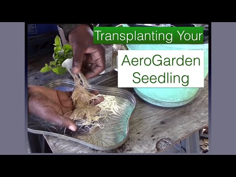 How to Transplant Your AeroGarden Seedling