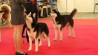 Выставка собак 24.04.2011 Нижегородская Ярмарка, Хаски 4