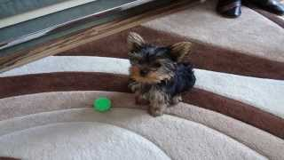 Hugo, The Yorkshire Terrier Dog: Pictures