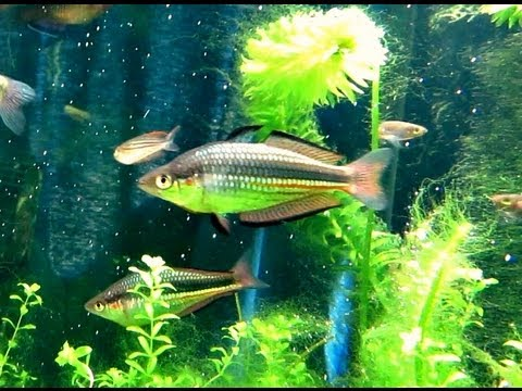 Native Australian Rainbowfish, Blue Eyes And Empire Gudgeons
