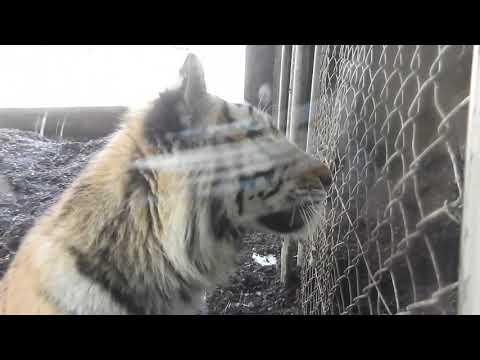 お隣にどうしても行きたいもうすぐ1歳のアムールトラ Siberian tiger cub 2019 0331