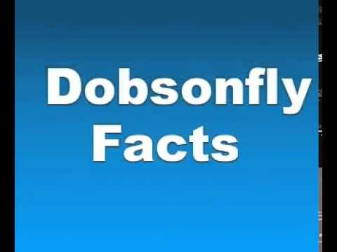 Dobsonfly Facts   Facts About Dobsonflies
