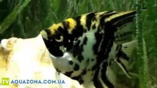 Скалярия мраморная - большие рыбы в аквариум купить