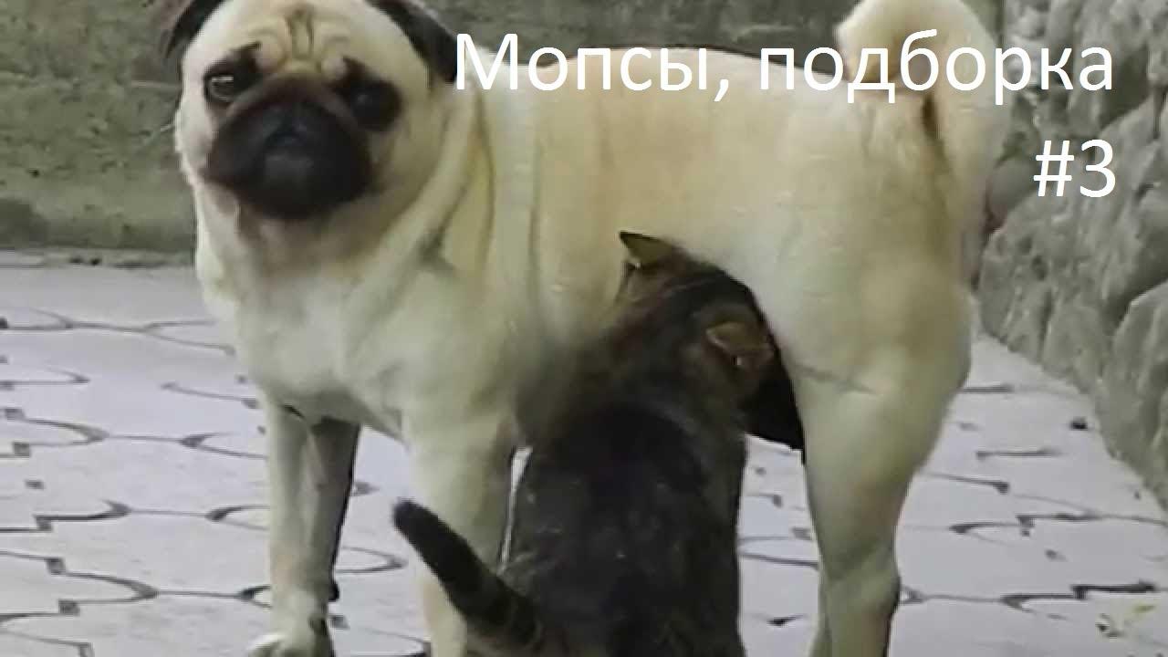 фото прикольные мопсы