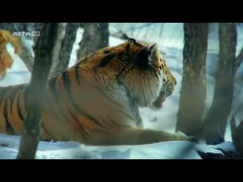 König der Natur   Der Tiger   Doku 2017 NEU HD