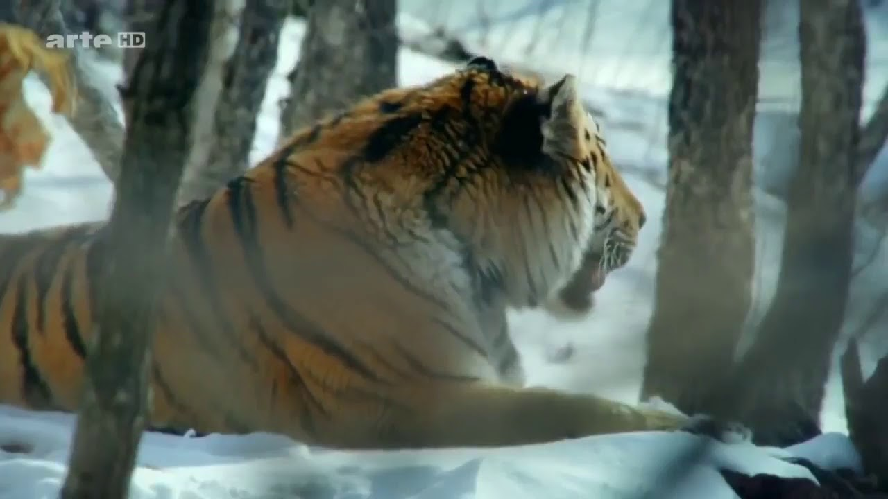 Konig Der Natur Der Tiger Doku 2017 Neu Hd Youtube