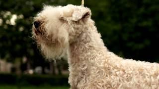 Ирландский мягкошерстный пшеничный терьер.Веселая ,активная собака. Превосходный компаньон