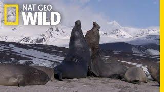 Elephant Seal Sex   Deadly Instincts