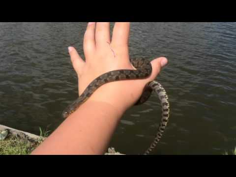 Letting go a diamond back water snake