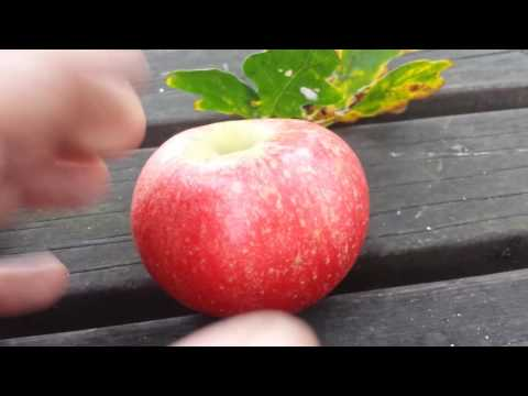 Early Apple variety Discovery: Description