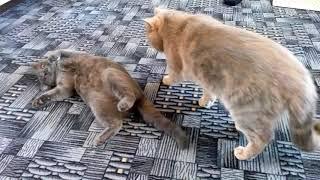 Кот взорвал интернет, разговаривает, говорит про жизнь удалась VivaVideo!