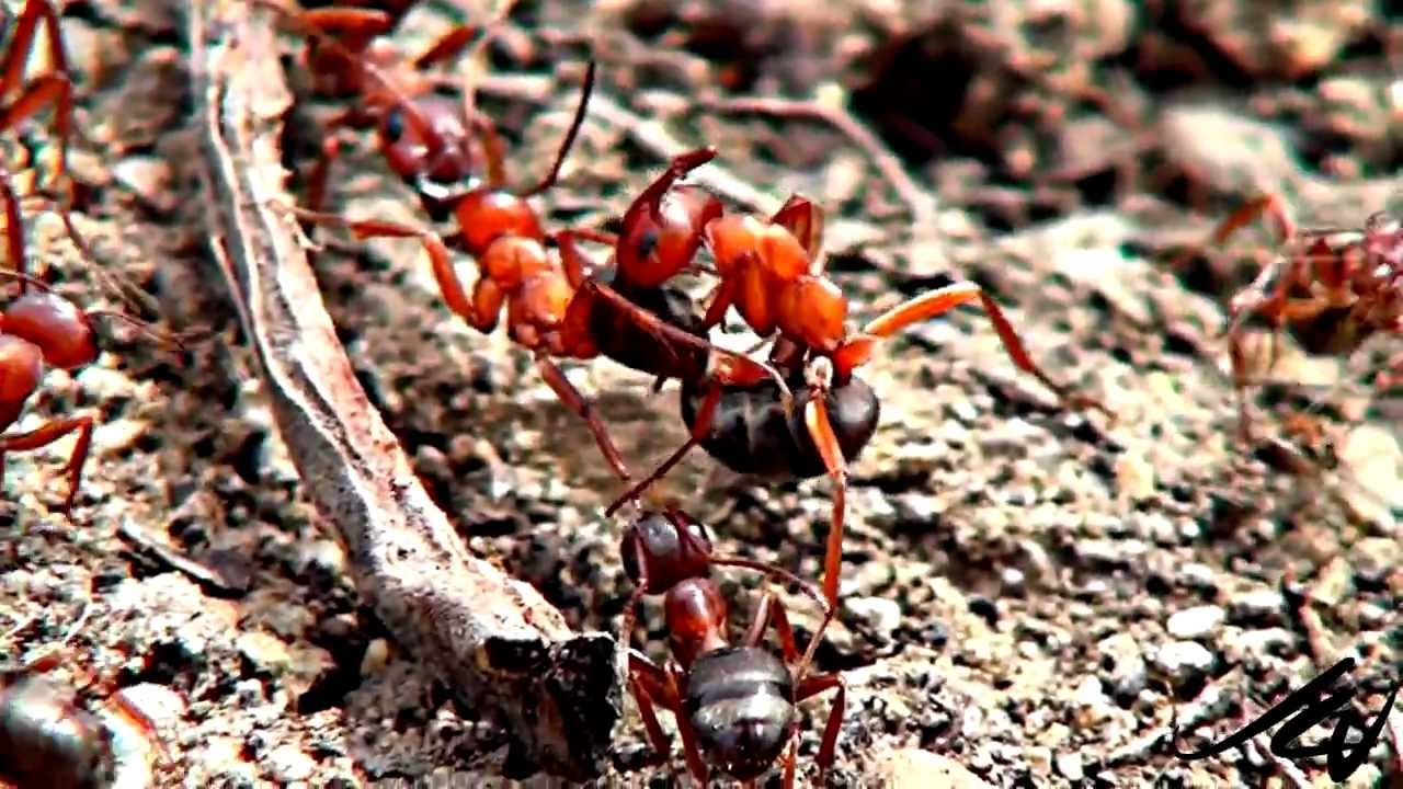 Ants having sex