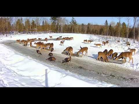 2019/02/06 - 776 Deer & Turkeys of the Brownville's Food ...