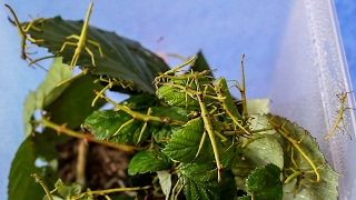 Big Stick Insects suitable for beginners (D. gigantea) [Inferion7]