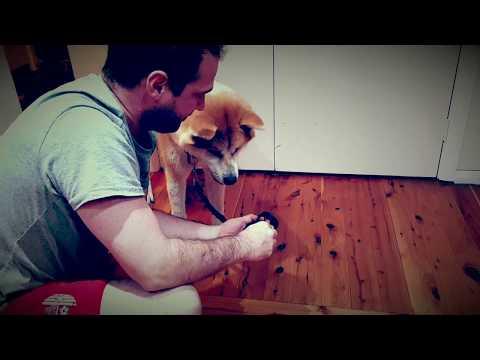 Atom the Japanese Akita training with Anth