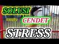 Cendet Stress Pun Akan Respon Dan Langsung Gacor Pancingan Cendet Stress Agar Naik Emosinya  Mp3 - Mp4 Download