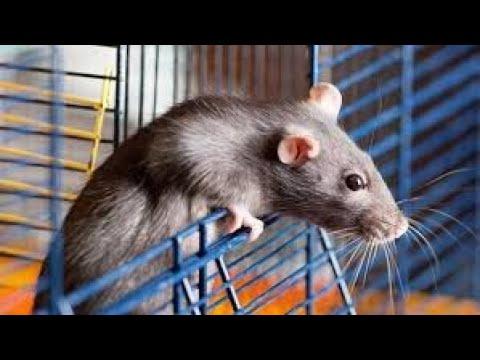 Máy Đuổi Chuột Bằng Sóng Siêu Âm Có Hiệu Quả Không ? Hà Tiện Ích