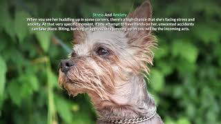 How To Train An Aggressive Yorkie – 4 Incredible Tips