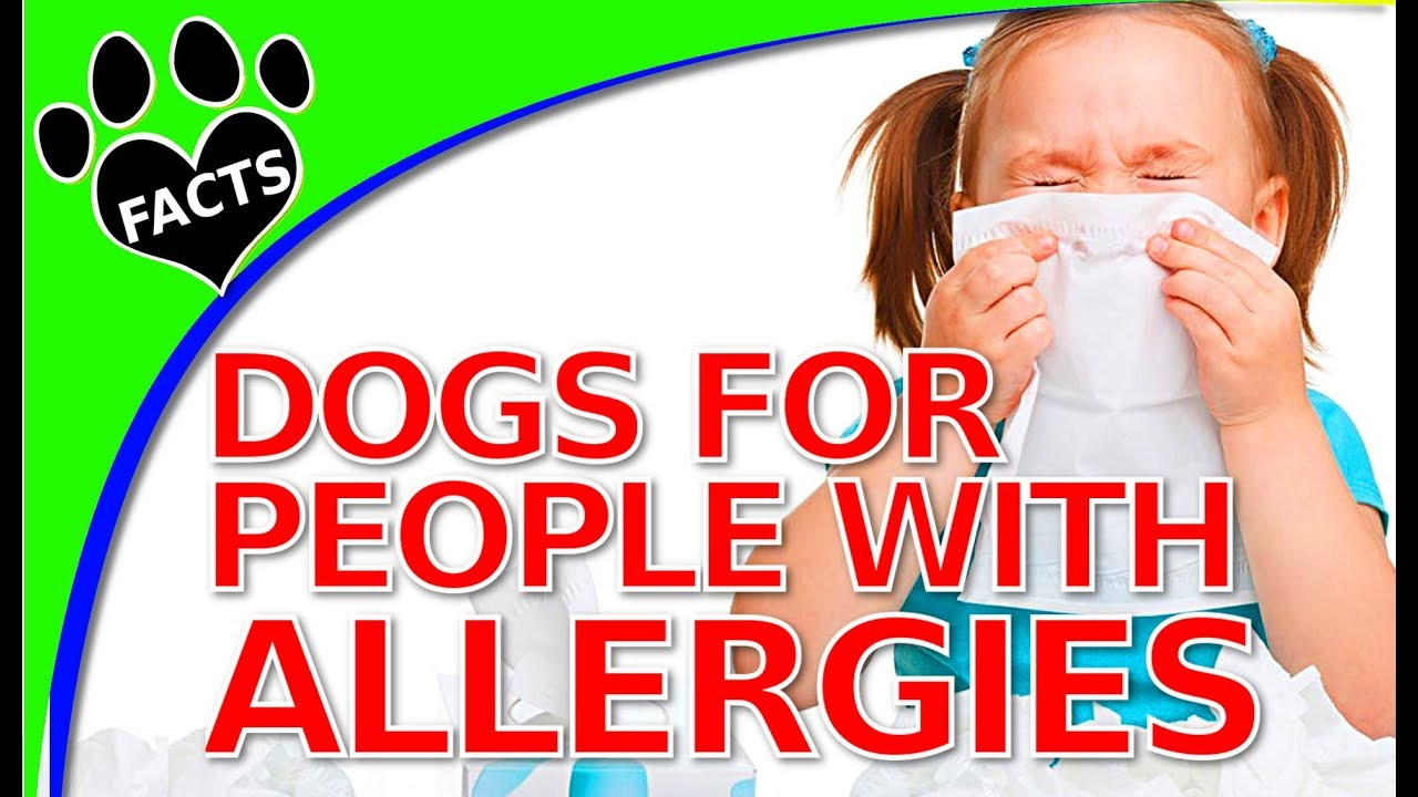 Dogs That Dont Shed Much for People with Allergies