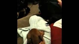 Baby Dachshund Battles Big Dachshund To The Death