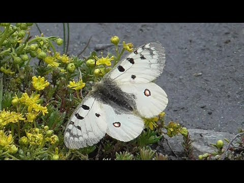Hochalpen-Apollo, Parnassius phoebus, Frankreich, Alpen, bei Val-d´Isère