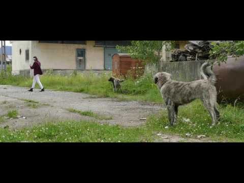 Territorial instinct test - 6 months young Turknomad dogs